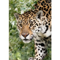 Jaguar peeping out from the undergrowth