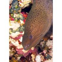 Java Moray Eel