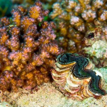 Juvenile Giant Clam growing by Acropora corals