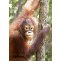 Humanoid Expressiveness - Juvenile Orangutan