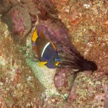 King Angelfish & Hourglass Moray in a reef ravine