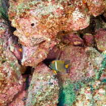 King Angelfish juvenile in a rocky tropical reef