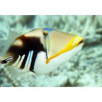 Picassofish (Lagoon Triggerfish)