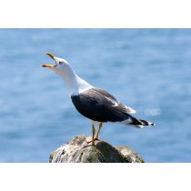 Lesser black-backed gull calling