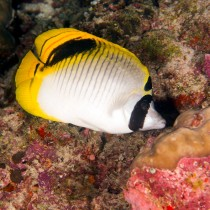 Lined Butterflyfish, largest of the butterflyfish