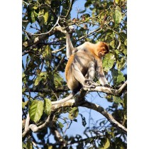 Long-nosed Monkey foraging in the rainforest canopy