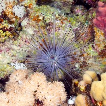 Long spined sea urchin among pastel corals