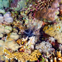Long spined urchin