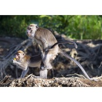Macaques mating in the rainforest