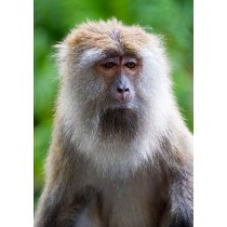 Long-tailed Macaque pondering the meaning of life