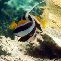 Longfin Bannerfish by table corals