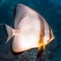 Longfin Spadefish (batfish)