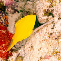 Longnose Butterflyfish foraging for small invertebrates