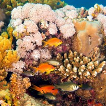 Lyretail Anthias (females) by the coral reef