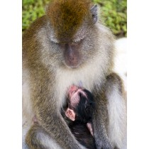 Baby Macaque feeding