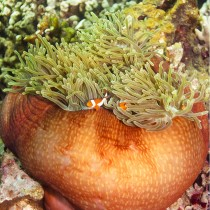 Ocellaris Clownfish peeping out from a Magnificent Anemone