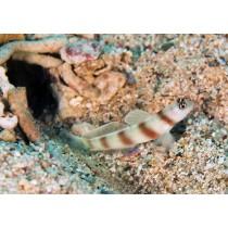 Magnus Shrimp-goby (prawn-goby)