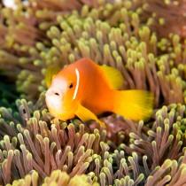 Clownfish (Maldive Anemonefish) on a fluorescent anemone