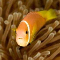 Maldive Anemonefish, Clownfish Close-up