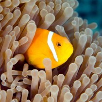 Maldives Clownfish peeping out from a sea anemone