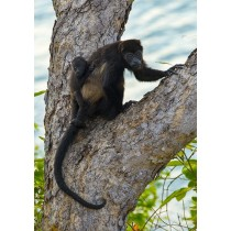 Mantled Howler Monkey - mother and child