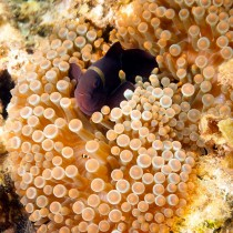 Maroon Clownfish ensconced in a Bubble-tip Anemone