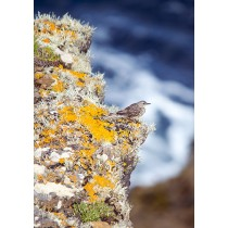 Meadow pipit perched on the edge of a dramatic island cliff, the beautiful vegetation of the cliffs edge contrasting with the dramatic blue sea. Meadow pipits are most often found in upland moors or islands although they move down to salt marshes and lowl