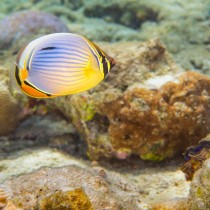 Melon Butterflyfish flitting over a decorative seabed.