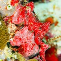 Scarlet red sea sponge (Monanchora unguiculata)