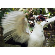 Muscovy Duck fanning its wings