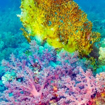Fire corals and tree corals