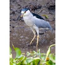 NIght Heron fishing