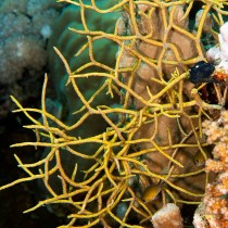 Noded horny coral