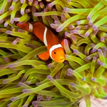 Common Clownfish in a pink anemone