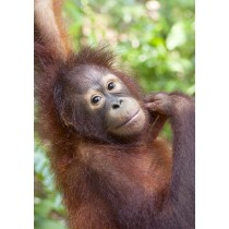 Orang-utan contemplating mischief in the rainforest