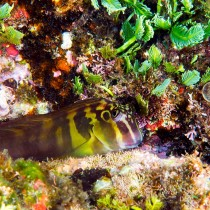 Panamic Fanged Blenny perched on a floral reef ledge