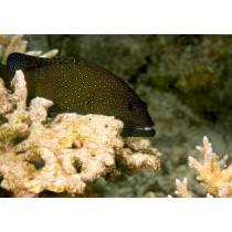 Peacock Rock Cod