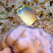 Peppered Butterflyfish nibbling on Brain Coral