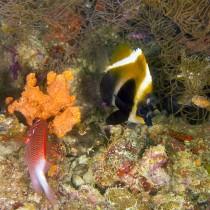 Phantom Bannerfish and sea sponges