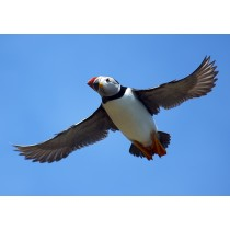 Common Puffin in flight