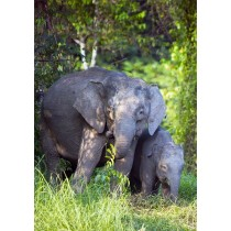 Pygmy Elephant Cow with Calf