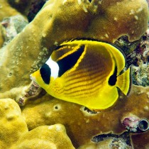 Raccoon Butterflyfish by golden hued corals