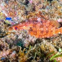 Rainbow Scorpionfish on a dazzling reef