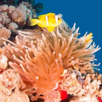 Clownfish (Red Sea Anemonefish) on a coral reef