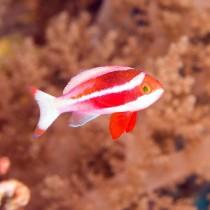 Red Sea Anthias