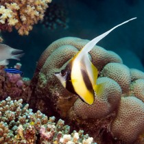 Red Sea Bannerfish at a reef cleaning station