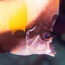 Eye of a Bannerfish