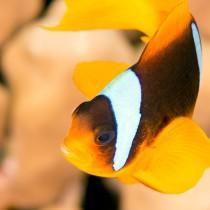 Clownfish Close-up - Red Sea Anemonefish
