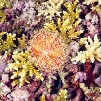 Red sea fire urchin