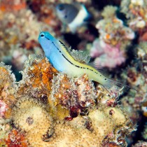 Red Sea Mimic Blenny perched on a reef